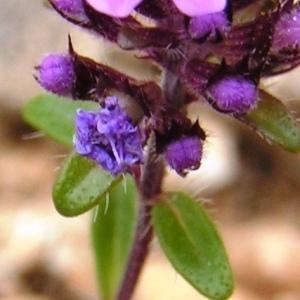- Thymus pulegioides subsp. chamaedrys (Fr.) Litard. [1928]