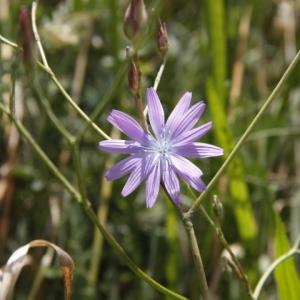 Photographie n°259817 du taxon Lactuca perennis L.