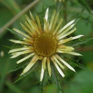 - Carlina vulgaris L. [1753]