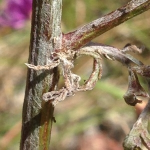 - Centaurea paniculata L.