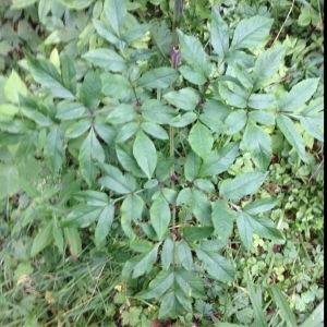 Photographie n°260118 du taxon Angelica sylvestris L. [1753]