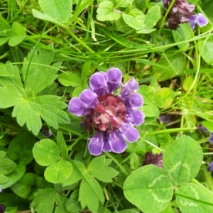 - Prunella vulgaris L.
