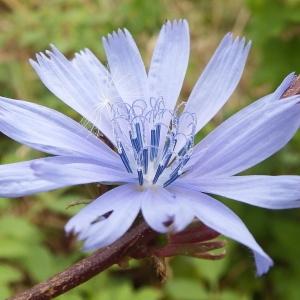 - Cichorium intybus L. [1753]