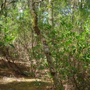 Photographie n°260238 du taxon Quercus suber L. [1753]