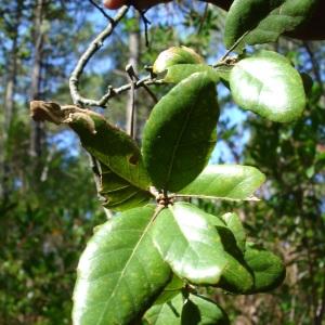 Photographie n°260240 du taxon Quercus suber L. [1753]