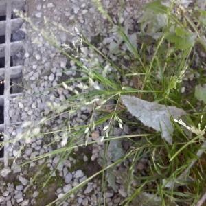 Photographie n°260608 du taxon Poaceae
