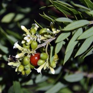 Photographie n°260788 du taxon Daphne gnidium L. [1753]
