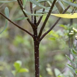 Photographie n°260789 du taxon Daphne gnidium L. [1753]
