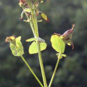 Photographie n°260865 du taxon Hypericum perforatum L.