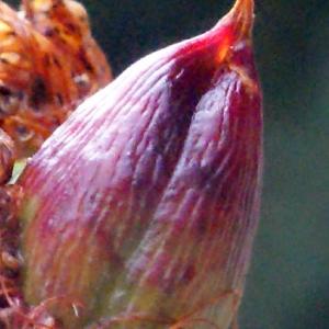 Photographie n°260868 du taxon Hypericum perforatum L.