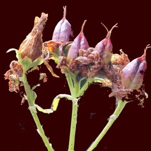 Photographie n°260869 du taxon Hypericum perforatum L.