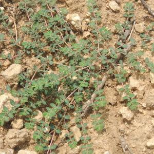 Photographie n°260943 du taxon Euphorbia prostrata Aiton