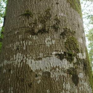 Photographie n°261129 du taxon Fagus sylvatica L.