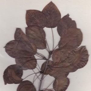 Photographie n°261186 du taxon Pyrus cordata Desv.