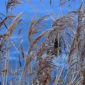 - Phragmites australis subsp. altissima (Benth.) Clayton