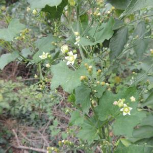 Photographie n°261225 du taxon Bryonia cretica subsp. dioica (Jacq.) Tutin [1968]