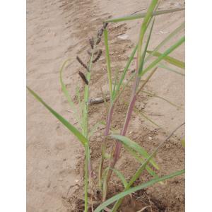 Echinochloa colona (L.) Link (Blé du Dekkan)