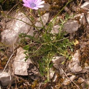 Photographie n°261278 du taxon Lactuca perennis L.