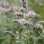 John De Vos - Mentha longifolia (L.) Huds. [1762]