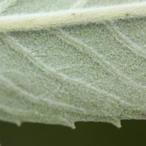 Photographie n°261298 du taxon Mentha longifolia (L.) Huds. [1762]