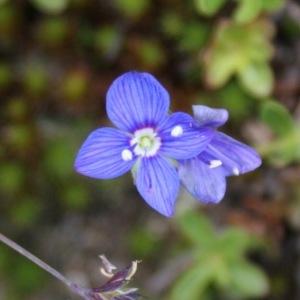 Photographie n°261348 du taxon Veronica chamaedrys L. [1753]
