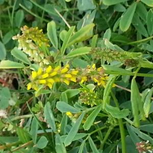 Photographie n°261545 du taxon Melilotus officinalis (L.) Lam. [1779]