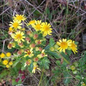 - Jacobaea erucifolia (L.) P.Gaertn., B.Mey. & Scherb.