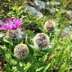 - Centaurea uniflora