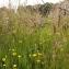 Florent Beck - Lychnis flos-cuculi L.