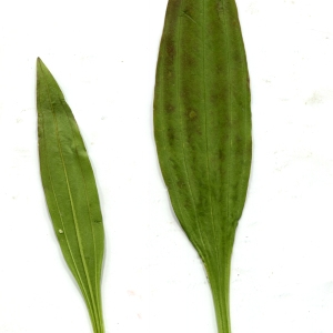- Gentiana purpurea L. [1753]