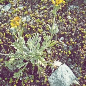Photographie n°262190 du taxon Jacobaea incana