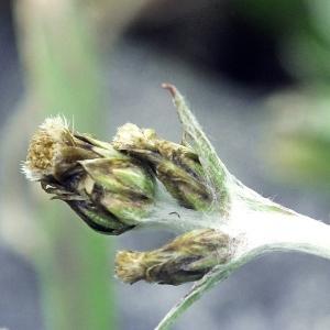 - Gnaphalium supinum L. [1768]