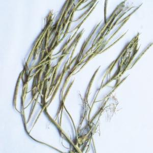 Photographie n°262341 du taxon Barbarea vulgaris R.Br.