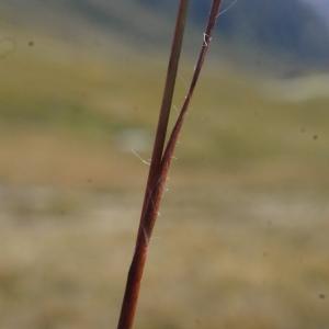 Photographie n°262347 du taxon Luzula sudetica (Willd.) Schult.