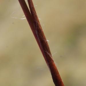 Luzula sudetica (Willd.) Schult. (Luzule des monts Sudètes)