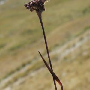 Photographie n°262349 du taxon Luzula sudetica (Willd.) Schult.