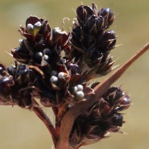 Photographie n°262351 du taxon Luzula sudetica (Willd.) Schult.
