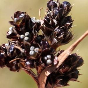 Photographie n°262352 du taxon Luzula sudetica (Willd.) Schult.