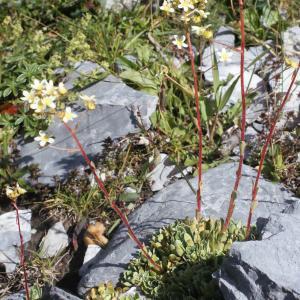 Photographie n°262353 du taxon Saxifraga paniculata Mill.