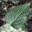 Liliane Roubaudi - Campanula latifolia L. [1753]