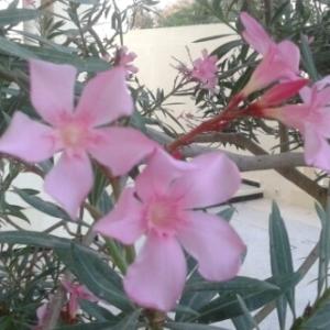 Photographie n°262461 du taxon Nerium oleander L. [1753]