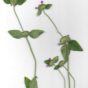 Photographie n°262475 du taxon Clinopodium vulgare L. [1753]