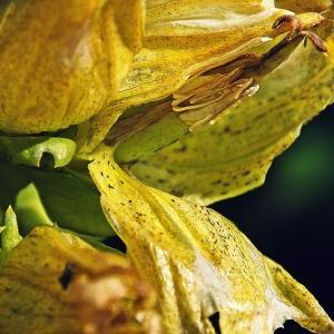 Photographie n°262513 du taxon Gentiana punctata