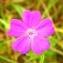 Alain Bigou - Geranium columbinum L.