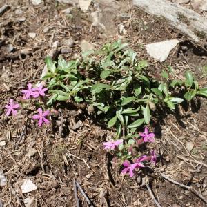 Photographie n°262653 du taxon Saponaria ocymoides L.