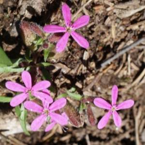 Photographie n°262658 du taxon Saponaria ocymoides L.