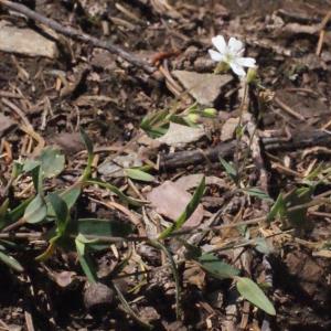 Photographie n°262672 du taxon Silene rupestris L.