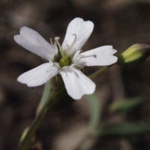 Photographie n°262675 du taxon Silene rupestris L.