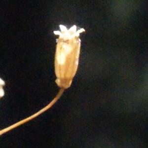 Photographie n°262682 du taxon Silene rupestris L.