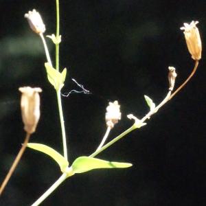Photographie n°262683 du taxon Silene rupestris L.